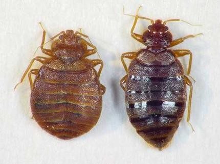 High Quality Bed Bugs_standard
